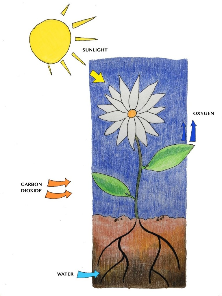 A diagram of a flower growing in the soil. Above it, the sun shines. An arrow is drawn between the sun and the flower; it says 'sunlight'. An arrow that says 'carbon dioxide' points towards the leaves, while an arrow that says 'oxygen' points away from them. The plant is rooted in the ground; its roots are also visible, and there is an arrow drawn towards them that says 'water'.