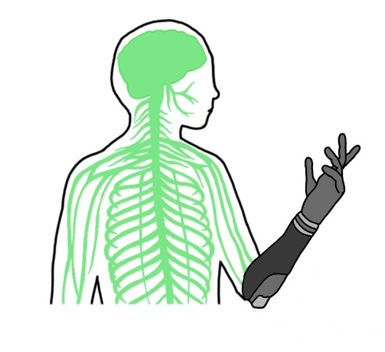 A drawing of a persons head, arms, and torso, showing nerves running throughout the body. One arm has a prosthetic hand and arm up to the elbow. This is seemlessly joined to the rest of the nervous system.