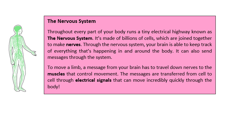 A text box. It reads: The Nervous System  Throughout every part of your body runs a tiny electrical highway known as The Nervous System. It's made of billions of cells, which are joined together to make nerves. Through the nervous system, your brain is able to keep track of everything that's happening in and around the body. It can also send messages through the system.  To move a limb, a message from your brain has to travel down nerves to the muscles that control movement. The messages are transferred from cell to cell through electrical signals that can move incredibly quickly through the body! To the left is a drawing of the human body, showing that the nervous system runs through every part of it.