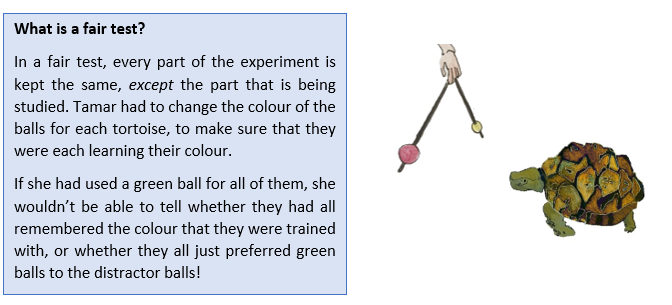 A text box. It reads:  What is a fair test? In a fair test, every part of the experiment is kept the same, except the part that is being studied. Tamar had to change the colour of the balls for each tortoise, to make sure that they were each learning their colour.  If she had used a green ball for all of them, she wouldn't be able to tell whether they had all remembered the colour that they were trained with, or whether they all just preferred green balls to the distractor balls!  There is also an image of a tortoise, which is choosing between a red ball, and a yellow ball.