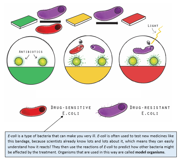 A diagram showing how the bandage reacts to bacteria. It has three parts. In the first part, we see how when the bandage encounters any bacteria, it turns from green to yellow. Then, when only the drug-resistant bacteria remain, it turns to red.  In the second part, we see that the antibiotics on the bandage kill the bacteria, and this corresponds to the bandage changing colour. When the bandage is red, only antibiotic-resistant bacteria remain, and light is applied to the red bandage to kill them.  The third part explains the difference between drug-sensitive e-coli, which are killed when the bandage is yellow, and drug-resistant e-coli, which are killed when the bandage is red. There is a text-box below, which reads:  E-coli is a type of bacteria that can make you very ill. E-coli is often used to test new medicines like this bandage, because scientists already know lots and lots about it, which means they can easily understand how it reacts! They then use the reactions of E-coli to predict how other bacteria might be affected by the treatment. Organisms that are used in this way are called model organisms.